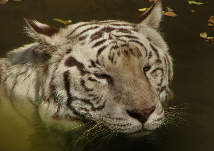 White tiger- beating the heat. Canonindiaofficial Natgeo Natgeoyourshot Natgeowildlife Incredible India VIBGYOR Water Nehru Zoological Park Save The Nature SaveTigers #chamka EyeEm Selects Tiger Close-up Big Cat White Tiger Threatened Species Vulnerable Species Roaring Zoo Carnivora Cat Family