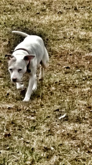Pets No People Outdoors Nature Day One Animal Domestic Animals Animal Themes Dog Water Winter Field And Sky Landscape Pitbull Love Joey Joe Is 15😀 dog Dogs