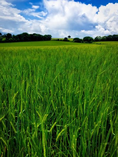 Summer in the Berkshire countryside Agriculture Beauty In Nature Cereal Plant Cloud Cloud - Sky Crop  Cultivated Land Day Field Grass Green Green Color Growth Horizon Over Land Idyllic Landscape Nature Plant Plantation Rural Scene Scenics Sky Tranquil Scene Tranquility Yellow