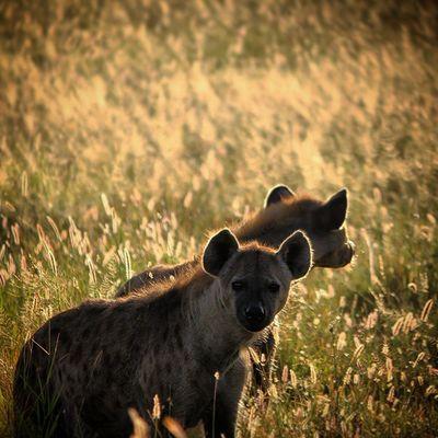 Heyenas at dawn. Africanamazing Natureaddict Animalsaddict Squaredroid @Animals Wildlife Igersmp Africa Naturelover_gr