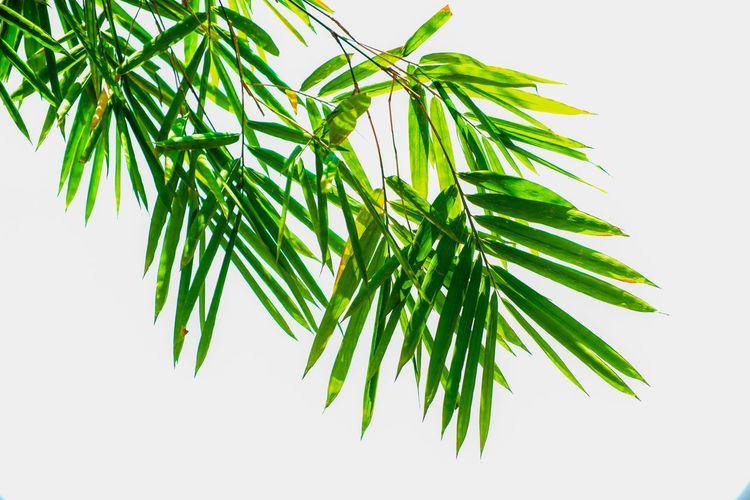 bamboo leaves Bamboo Bamboo Leaves Plant Green Color Leaf Plant Part Studio Shot No People Branch Nature Tree Close-up Growth White Background Beauty In Nature Pine Tree Herb Cut Out Freshness Low Angle View Coniferous Tree