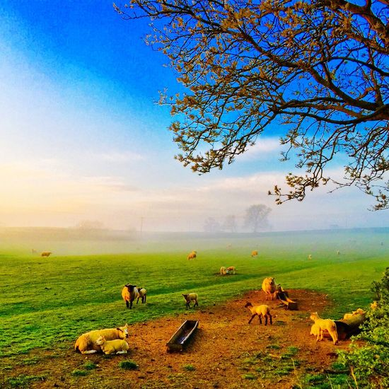 Sheep & lambs as the sun rises on a misty morning in Northamptonshire Mist Lambs Sheep Sunrise Sun Weather Weatherchannel Northampton Northamptonshire Northants Morning