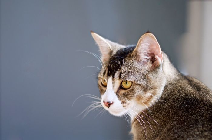 Domestic Cat Pets Domestic Animals One Animal Mammal Feline Animal Themes Close-up No People Indoors  Day Cat Eyes Eyes Eye Orange Yellow House Cats House Cat Housecat Curious Cat Curious Curiosity Tabby Cat Whisker Adorable
