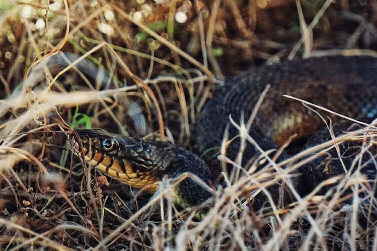 Walking in the tall grass almost tripped over this guy. Check This Out Snake Snakes Animal Texas First Eyeem Photo