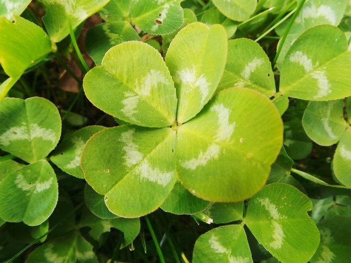 More luck for me O:-) Four Leaf Clover Clover Green Color Grass Luck Lucky Charms Plant Close-up Background Nature Freshness Good Luck Charms Good Luck Symbol Good Luck Day