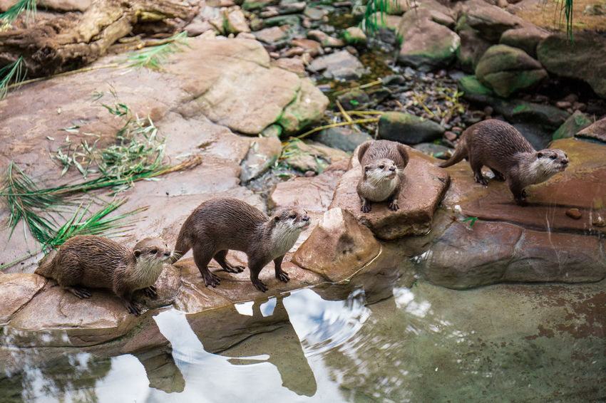 4 Otters 4 Four Nature Otter Reflection Wildlife & Nature Wildlife Photography Adorable Animal Animal Photography Animal Themes Animal Wildlife Animals In The Wild Creature Cute Day Lake Lovely Nature No People Otters Outdoors Water Waterfront Wildlife