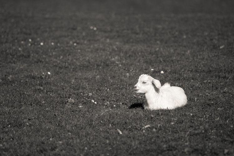 Kid goat sitting on grassy field