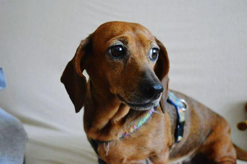 Dog Pets One Animal Domestic Animals Looking At Camera Close-up Portrait Mammal Dachshund Animal Themes No People Day