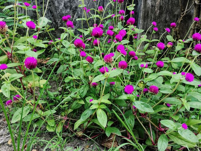 Growth Plant Flower Nature Leaf Outdoors Beauty In Nature No People Day Freshness Green Color Fragility Pink Color Blooming Close-up Gomphrena Globosa L. Bungabutang EyeEmNewHere The Week On EyeEm