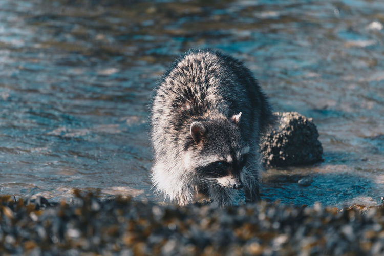 Close-Up Of Raccoon At Lake