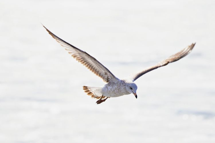 Flying Animal Wildlife Animals In The Wild Animal Themes Animal One Animal Bird Spread Wings Mid-air Nature Day Beauty In Nature Focus On Foreground Outdoors Sky Motion No People Seagull Freedom