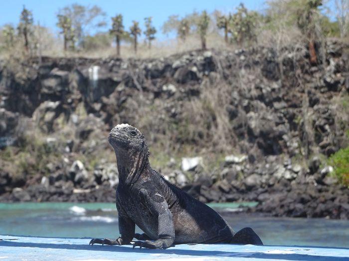 Santa Cruz Galapagos Galapagos Animals In The Wild Animal Wildlife Animal Animal Themes Nature One Animal Day No People Iguana