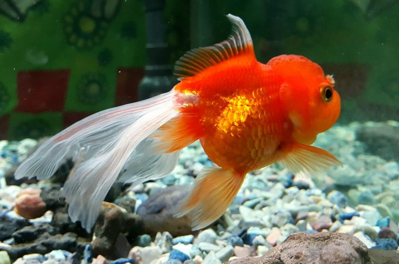 Close-up of goldfish swimming in fish tank
