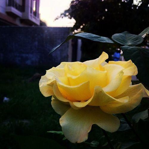 Bongistan Yellow Foreveralone Peeli instaflower instagramers instarose rose yellorose pti oi like kar