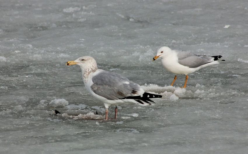High angle view of seagulls on snow covered field