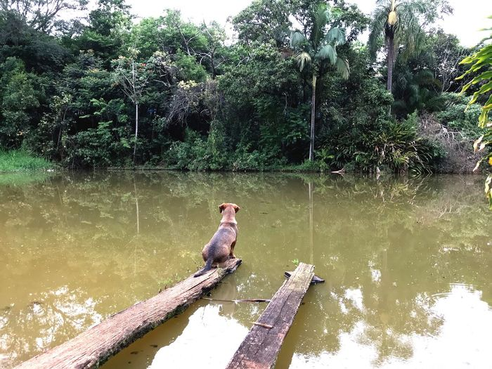Brazil Wood