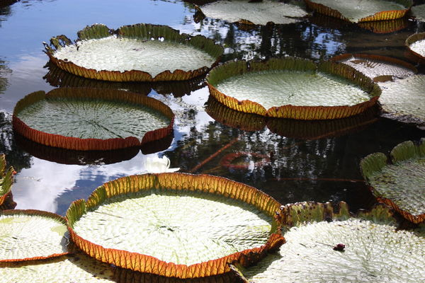 Giant Lily pads, Mauritius No People Day Outdoors Water Nature Close-up
