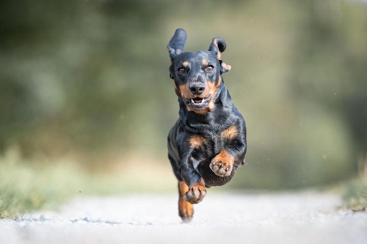 Portrait of dachshund running on dirt road