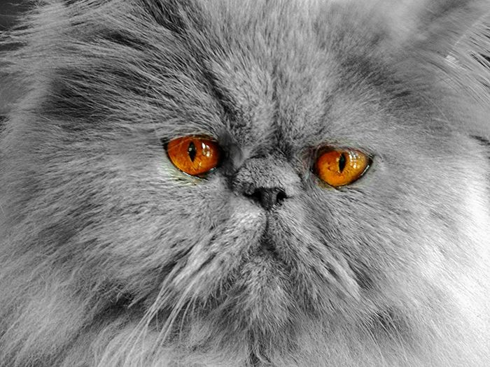 Denin Brighteyes  Cat♡ Cute Pets Persian Fluffy Cat Eyes