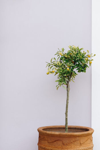 Orange Tree Lemon Tree Potted Tree White Background Vase Potted Plant Bonsai Tree Close-up Plant Botany