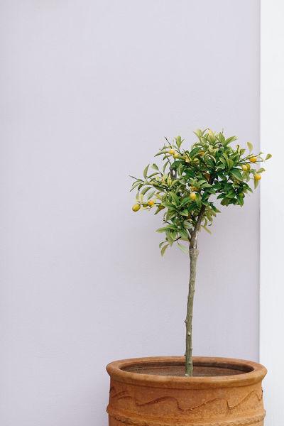 Orange Tree Lemon Tree Potted Tree White Background Vase Potted Plant Bonsai Tree Close-up Plant Botany