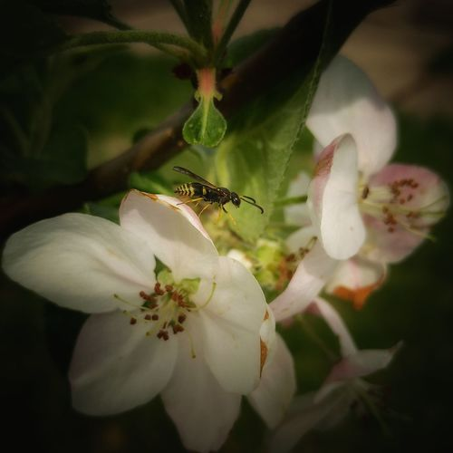 Insect Flower Plant Close-up Nature Fragility Growth No People Day Beauty In Nature Outdoors Flower Head Macro Bee 🐝 Pollination Collecting Nectar EyeEm Best Shots Springtime Blossom