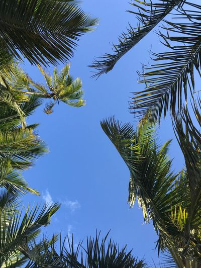Palm trees reaching for heaven above... Africa Tanzania EyeEm Nature Lover Tree Plant Sky Growth Low Angle View Tranquility Nature No People Beauty In Nature Day Branch Blue Green Color Outdoors Leaf Scenics - Nature Plant Part Coniferous Tree Tranquil Scene Sunlight #FREIHEITBERLIN The Great Outdoors - 2018 EyeEm Awards