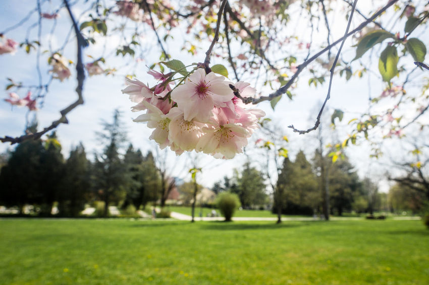 Spring forever! Beauty In Nature Blossom Branch Cherry Blossom Cherry Tree Day Flower Flower Head Flowering Plant Fragility Freshness Grass Growth Nature No People Outdoors Park Park - Man Made Space Petal Pink Color Plant Springtime Tree Vulnerability