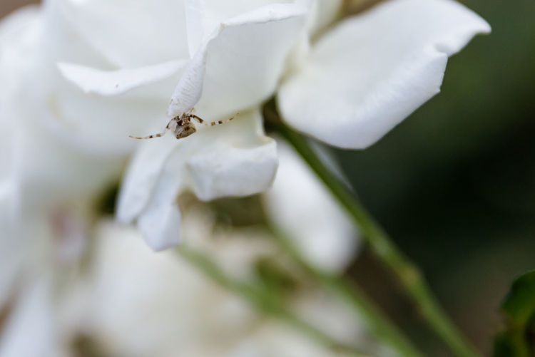 Arachnid Photography Spider Animal Themes Arachnid Beauty In Nature Blooming Close-up Flower Flower Head Growth Insect Nature No People One Animal Outdoors Petal White Color