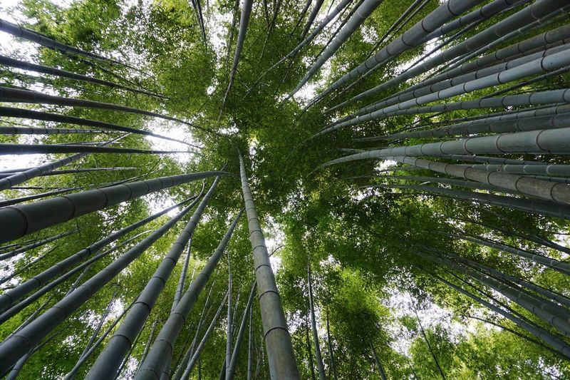 Looking Up Plant Tree Growth Beauty In Nature Green Color Forest Bamboo Nature Tree Trunk Bamboo - Plant Tranquility