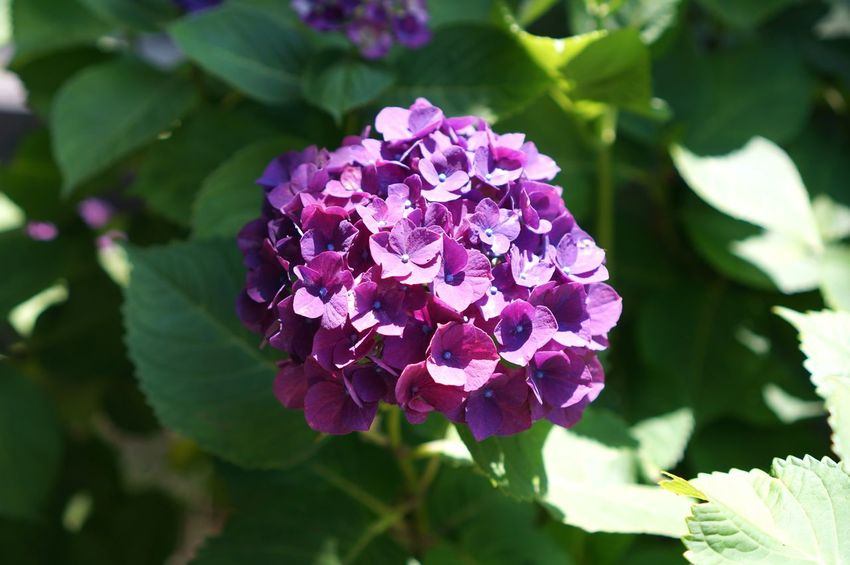 Flower Plant Leaf Beauty In Nature Nature Freshness Purple Close-up Petal Outdoors Flower Head No People Day Hydrangea