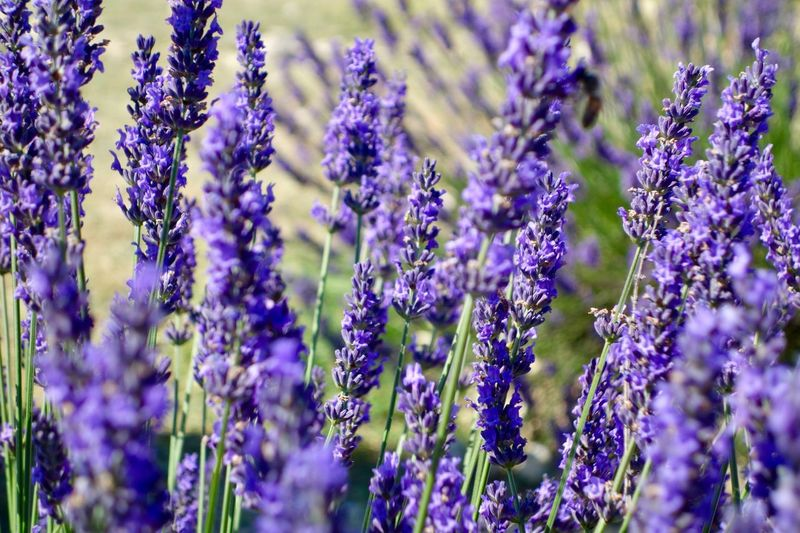 Purple Plant Lavender Growth Beauty In Nature Flowering Plant Flower