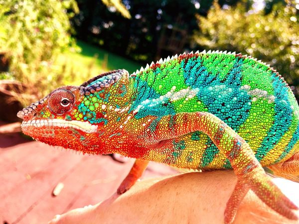 Animals In The Wild One Animal Wildlife Close-up Multi Colored Focus On Foreground Zoology Nature Green Color Day Beak No People Beauty In Nature Vibrant Color Animal Markings Chameleon Madagascar  Panther Chameleon Lizard Colorful Reptile Animals In The Wild