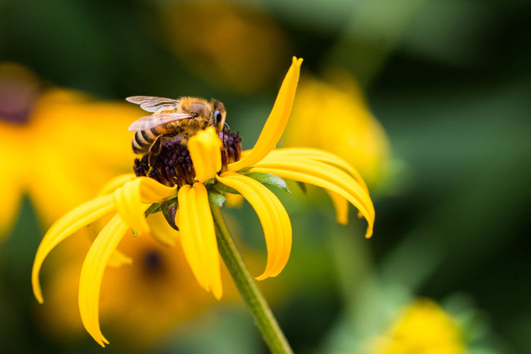 Close-up of bee on black-eyed susan