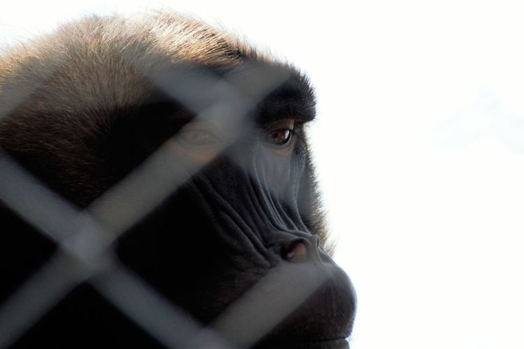2016 Anthropoid EyeEm Best Shots EyeEm Gallery EyeEm Nature Lover Hopelessness Human Face In Detention  Locked Up!!!! One Mid Adult Man Only Sadness :'( White Background Wildlife & Nature Wildlife Protection