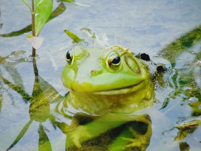 Water One Animal Nature Animal Themes Frog Amphibian Looking At Camera Green Color Swimming Lake Day Animals In The Wild Close-up Tranquility Alone The Way Forward Path In The Heart Lifestyles Where Is My Mind?
