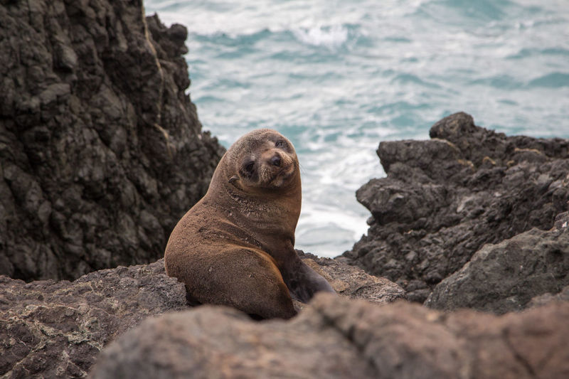 New Zealand Beauty Seals On Rocks Wildlife Photos Animal Themes Animals In The Wild Aquatic Life Aquatic Mammal Cute Mammal Nature New Zealand Natural No People One Animal Outdoors Pup Sea Sea Lion Seal - Animal Sealion  Sealions Seals Seals Chilling Seals On Beach Fresh On Market 2017