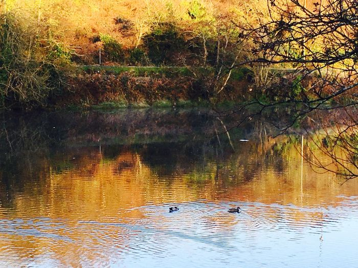 Ducks in the cold river Irish Autumn Morning Nature On Your Doorstep Eye4photography  Beauty In Nature West Cork, Skibbereen, Ireland Duck Ducks River Autumn Autumn Colors Riverside River Ilen Riverilen