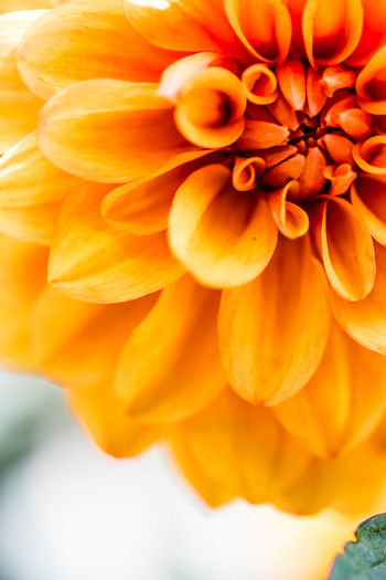 Fiery blossom Close-up Day Flower Flower Head Food Fragility Freshness Growth Nature No People Orange Color Outdoors Petal Pumpkin Tiny Insect