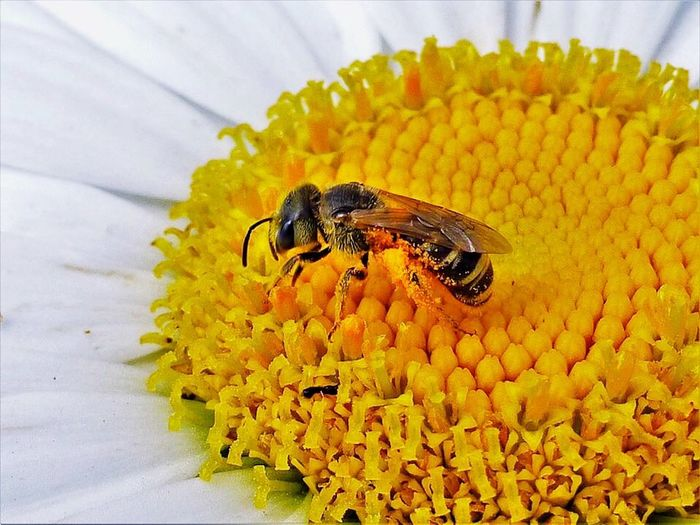 Flower Fragility Freshness Insect Petal Yellow Animal Themes Beauty In Nature No People Animals In The Wild One Animal Flower Head Nature Close-up Growth Day Outdoors Bees And Flowers Bee