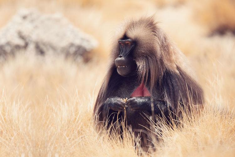Monkey relaxing on grassy field