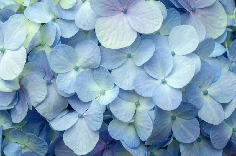 Full frame shot of hydrangea flowers
