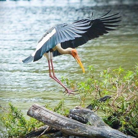 It's x a batman..It's a stork landing on a wood trunk.. :D Nofilter Nikon D7000 Stork bird nature wetland