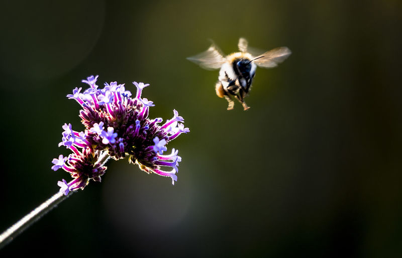 Close-Up Of Insect Buzzing Over Flower