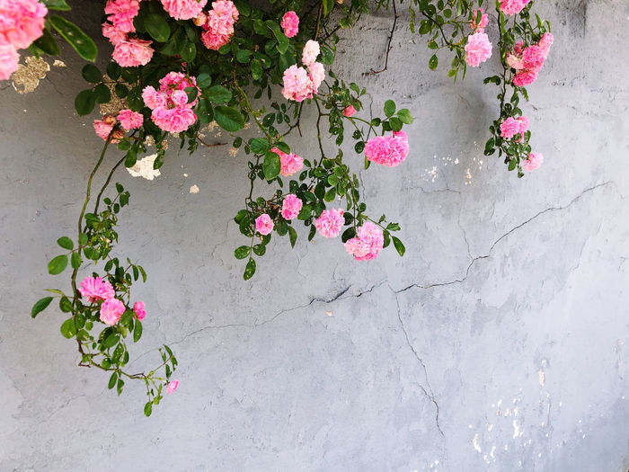 Pink roses on leaves