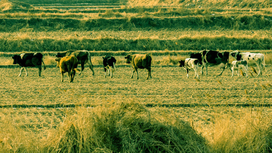 Cattle Dusk Evening Fields Leisurely And Carefree People Animal Themes Beauty In Nature China, Liaoning, Nature On The Outskirts Of The Winter, Grazing, Outdoors Sheep Suburban Landscape Sunset, Winter,