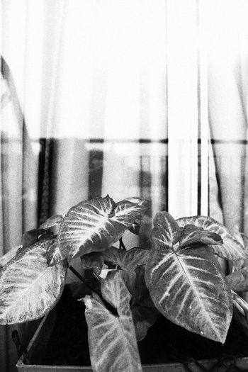 Shadows and Plants Ananya's Gallery Photography DSLR Nature Beauty In Nature Plants EyeEmNewHere Nature Photography Nature_collection Nature Is Art Canoneosrebelt6i Canon_photos Canonphotography Shadows Shadow Plants Plant B&w Black Grainy Images Grainy Effect Black And White Human Hand Curtain Close-up Fabric Backgrounds Textured  LINE Rough