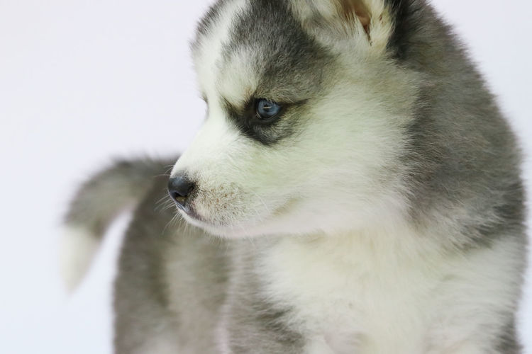 siberian husky puppy close-up white background Cute Pets Husky Puppy Siberian Husky Dog Siberian Husky Animal Animal Eye Canine Cute Cute Dog  Dog Husky Huskyphotography Looking Looking Away Pets Puppies Puppy Siberian Siberian Husky Puppy Siberianhusky Sled Dog Studio Shot Vertebrate Whisker White Background