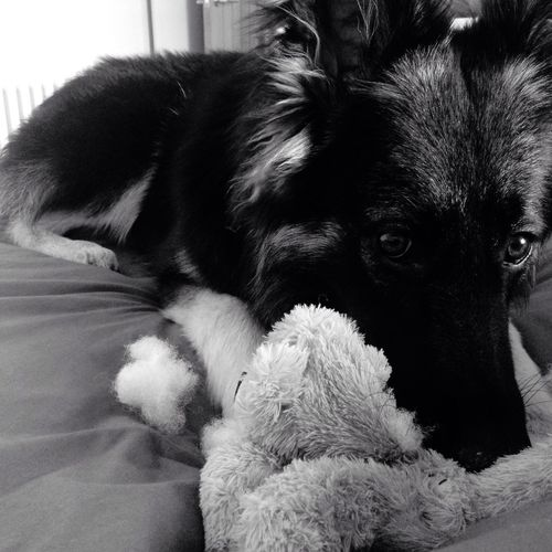 Germanshepherd #MyGirl
