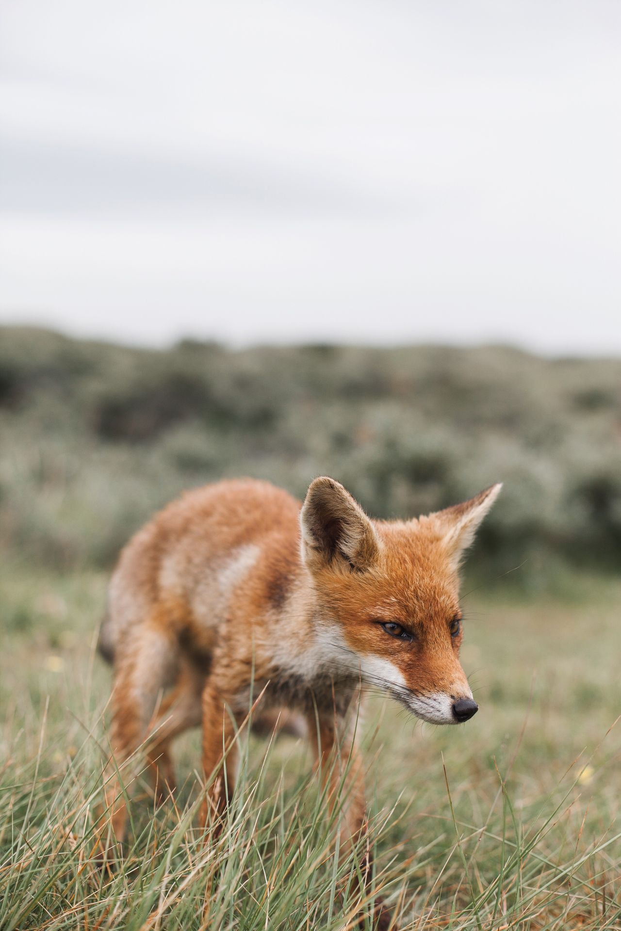 Close-up of fox on field